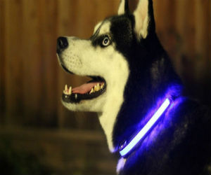 Husky-wearing-LED-collar