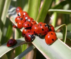 group-of-ladybugs
