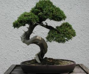 juniper-bonsai-tree